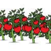 Загадки про алый и сочный помидор (томат)